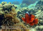 SpineCheekAnemonefish_P7051777_.JPG