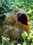 Tomato-anemonefish_P7051694__.jpg