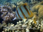 MSTARPGen_09_P7090369_best_best_beaked_nosed_butterflyfishSM.jpg