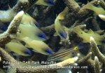 MSTARPSapi_72_OP-spotgill-cardinalfish_P7051837_.jpg