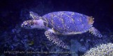 Other_Turtles_Hawksbill-turtle_Eretmochelys-imbricata_vlcsnap-2012-02-12-03h34m23s195