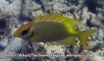 Rabbitfish_Coral-Rabbitfish_Siganus-corallinus-stretch_P1135419_.jpg