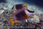 Rabbitfish_Magnificent-Rabbitfish_Siganus-magnificus_P4082557_.jpg