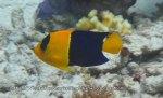 Angelfish_Bicolour-Angelfish_Centropyge-bicolor_IMG_0392.jpg