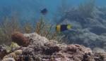 Angelfish_Bicolour-Angelfish_Centropyge-bicolor_P8150018_P1018546.jpg
