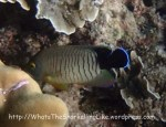 Angelfish_Black-tail-Angelfish_Centropyge-eibli_P1263416_.jpg