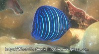 Species_Fish_Angelfish_Blue-Ringed-Angelfish-Juvi_Pomacanthus-annularis_P1135401_