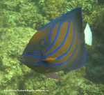 Species_Fish_Angelfish_Blue-Ringed-Angelfish_Pomacanthus-annularis_IMG_1542_