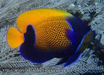 Angelfish_Bluegirdled-Angelfish_Pomacanthus-navarchus_P7065048.jpg