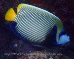 Angelfish_Emperor-Angelfish_Pomacanthus-imperator_P4154252_ Surins.JPG
