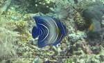 Angelfish_Semicircle-Juvenile_Pomacanthus-semicirculatus_IMG_2366.jpg