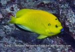 Angelfish_Three-Spot-Angelfish_Apolemichthys-trimaculatus_P4231140_.jpg