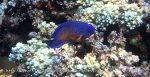 Angelfish_Two-Spined-Angelfish_Centropyge-bispinosus_P7024597.jpg