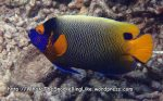 Angelfish_Yellowmask-Angelfish_Pomacanthus-xanthometopon_P4051799_.JPG