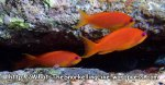 Anthias_Scalefin-Anthia-Female_Pseudanthias-sqamipinnis_P4220825_.jpg
