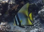 Batfish_Pinnate-Batfish_Platax-pinnatus_P7287024.JPG