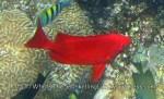 Bigeyes_Crescent-Tail-Bigeye_Priacanthus-hamrur_IMG_8034.jpg