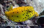 Boxfish_Boxfish_Yellow-ostracion-cubicus-juvenile_P4271949_.JPG