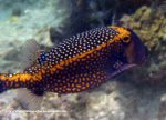 Species_Fish_Boxfish_Spotted-Boxfish_Ostracion-meleagris_P6190571_