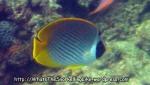 Butterflyfish-Panda-Butterflyfish_ Chaetodon-adiergastos_IMG_1555__ 18 4.jpg