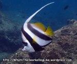 Butterflyfish_Bannerfish_Longfin-Bannerfish_Heniochus-acuminatus_P4154199_.JPG
