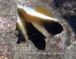 Species_Fish_Butterflyfish_Bannerfish_Phantom-Bannerfish_Heniochus-pleurotaeniaP4154207_Surin