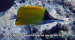 Butterflyfish_Big-Longnose-Butterflyfish-Forcipiger--longirostris_P4251698_