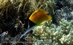 Butterflyfish_Big-Longnose-Butterflyfish_Forcipiger-longirostris_P6274435.jpg