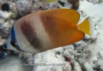 Species_Fish_Butterflyfish_Blacklip-Butterflyfish-AKA-Brown-Butterflyfish_Chaetodon-kleinii_IMG_0430