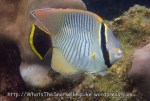 Species_Fish_Butterflyfish_Chevroned-Butterflyfish-Juvenile_Chaetodon-trifascialis_PC051631_