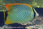 Species_Fish_Butterflyfish_Chevroned-Butterflyfish_Chaetodon-trifascialis_IMG_1473_