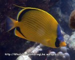 Butterflyfish_Dotted-Butterflyfish_Chaetodon-semeion_P4051842_.JPG