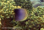Species_Fish_Butterflyfish_Eastern-triangular-butterflyfish_Chaetodon-baronessa_PC180405_