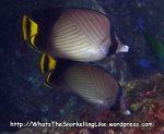 Butterflyfish_Indian-Vagabond-Butterflyfish_Chaetodon-decussatus_P4154329_.JPG