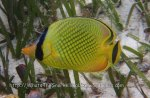 Butterflyfish_Latticed-Butterflyfish_Chaetodon-rafflesi_P7287224 Togeans.JPG
