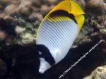 Butterflyfish_Lined-Butterflyfish_Chaetodon-lineolatus_P4072489_.JPG