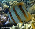 Species_Fish_Butterflyfish_Long-beaked-coralfish_Chelmon-Rostratus_P7090369_