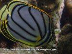 Butterflyfish_Meyers-Butterflyfish_Chaetodon-meyeri_P4113530_.JPG