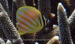 Butterflyfish_Ornate-Butterflyfish-Juvenile_Chaetodon-ornatissimus_P8048198.JPG