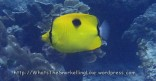 Species_Fish_Butterflyfish_Oval-spot-butterflyfish_Chaetodon-speculum-Adult P4231180