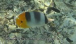 Species_Fish_Butterflyfish_Pacific-Double-Saddle-Butterflyfish_Chaetodon-ulietensis_IMG_0934
