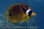 Species_Fish_Butterflyfish_Raccoon-Butterflyfish_Chaetodon-lunula_P4061994_.jpg