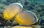 Species_Fish_Butterflyfish_Redfin-Butterflyfish_Chaetodon-lunulatus_P7051703_