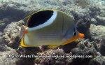 Butterflyfish_Saddle-Butterflyfish_Chaetodon-ephippium_P4123661_.JPG