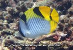 Butterflyfish_Saddleback-Butterflyfish_Chaetodon-falcula_P4051780_.JPG