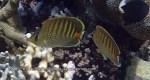 Species_Fish_Butterflyfish_Spot-Banded-Butterflyfish_Chaetodon-punctatofasciatus_P7266261
