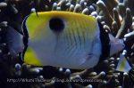 Butterflyfish_Teardrop-Butterflyfish_Chaetodon-unimaculatus_P7034718.jpg