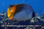 Butterflyfish_Threadfin-Butterflyfish_Chaetodon-auriga_P4051790_.JPG