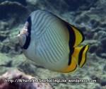 Butterflyfish_Vagabond-Butterflyfish_Chaetodon-vagabundus_P4041687_.jpg