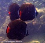 Species_Fish_Butterflyfish_White-Collared-Butterflyfish_Chaetodon-collare_P5012020_